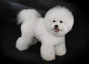 The Bichon Frise: The French Lap Dog