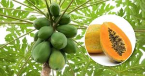 Benefits of Papaya – A Natural Fat Burning Food