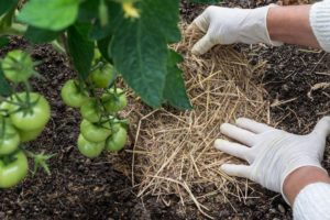 Add Organic Matter to Your Tomato Garden