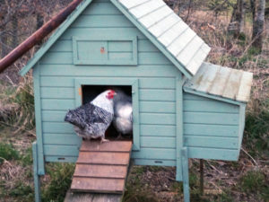 Choose Your House For Chickens Carefully