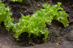 Tips For How to Garden Vegetables