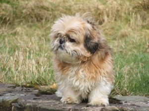 Dog Food – What's Best For Your Shih Tzu?