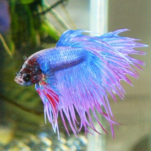 Ten Tips on Betta Fish Feeding and Nutrition
