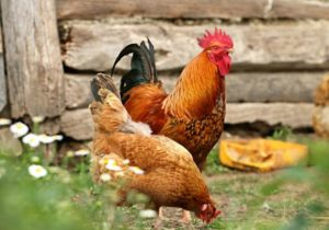 Chicken Breeds for Chicken Runs and Coops