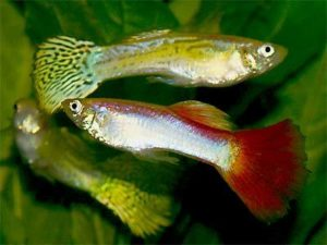 Breeding Livebearers – Guppies and Swordtails
