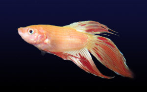 The Amazing Betta Fish Colors and Features