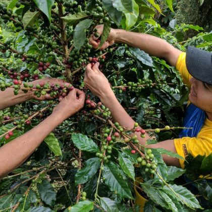 Coffee Cultivation a Barista Should Know