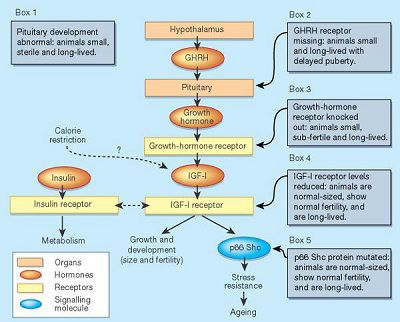 Growth Hormone Pathways in the Body