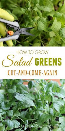 How To Grow-Cut-And-Come-Again Salads